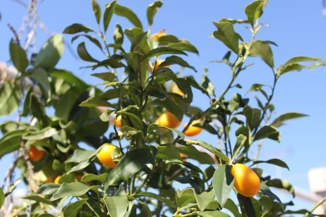 appelsintræ paleochora kreta vandre- og yogatur
