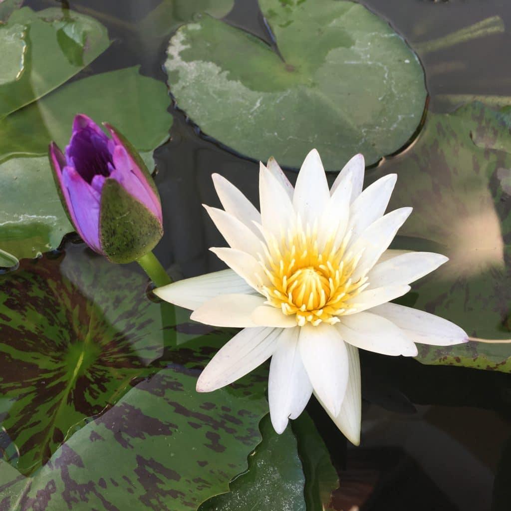 meditation lotus blomst symbol